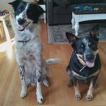 These two rescue pups are so fun to walk. They get a 45 min walk every day! Meet Jax and Kale!